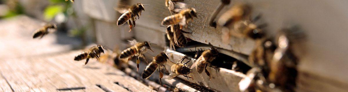 Bienen_insekten_aussterben_von_natur_tiere_Bienensterben_Planetbox-duentscheidest_Artenschutz_deutschland_österreich_schweiz_planetboxduentscheidest_tierschutz_umweltschutz